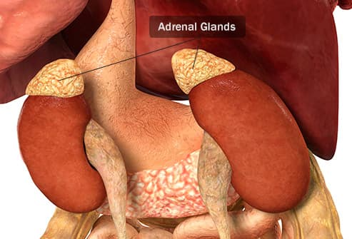 adrenal glands illustration