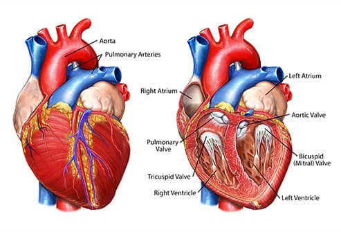 anatomy of heart exterior and interior