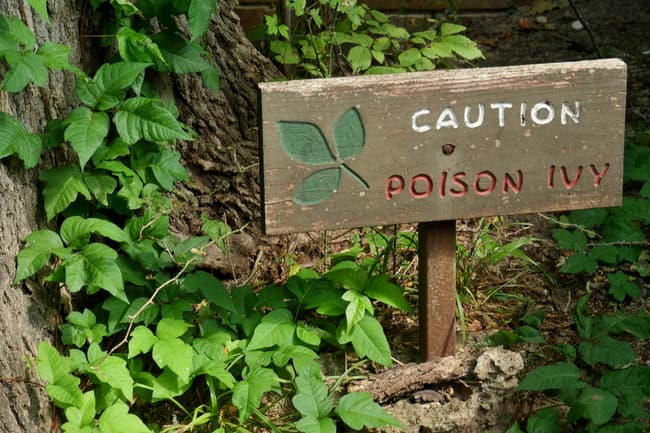 photo of poison ivy