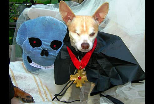 Chihuahua dressed as vampire