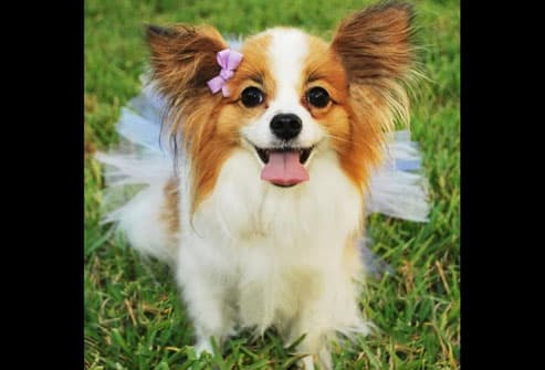 Pomeranian in tutu and pink bow