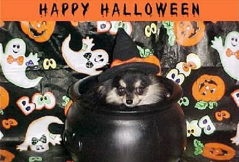 Pomeranian wearing witch hat sitting in kettle