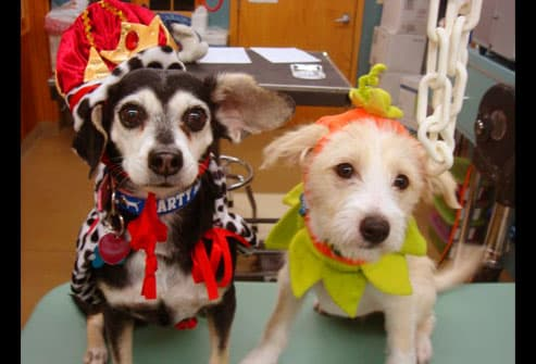 Two dogs dressed as a queen and a pumpkin