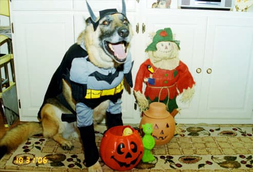 German shepherd dressed as Batman