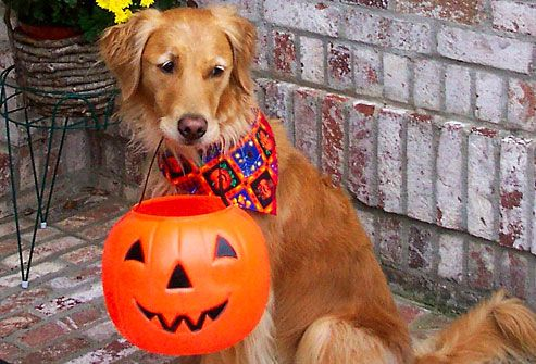 Golden retriever holding trick or treat basket