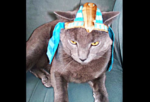 Gray cat dressed as Cleopatra