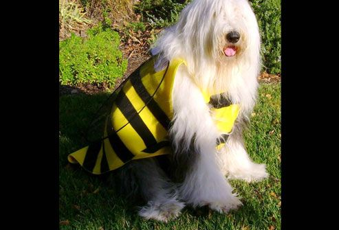 Big hairy dog as a bumblebee