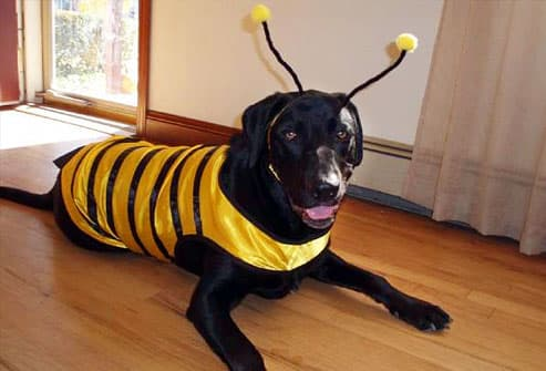 Black lab dressed as bumblebee with antennae
