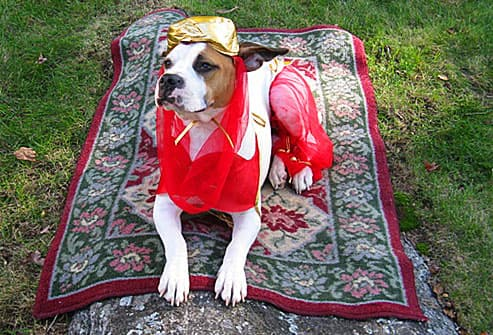 Pit bull genie on magic carpet