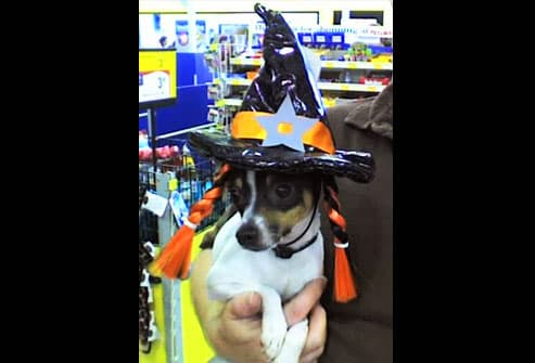 Rat terrier in witch hat