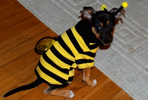 Small black and brown dog as bumblebee