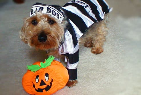 Small dog dressed as inmate