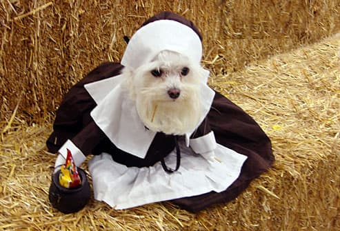 Small white dog dressed as pilgrim