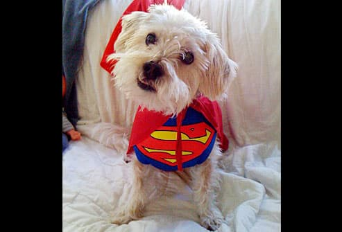 Small white dog as Superman