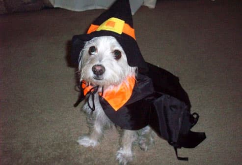 Small white dog dressed as witch