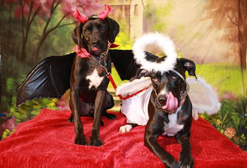 Two dogs dressed as angel and devil