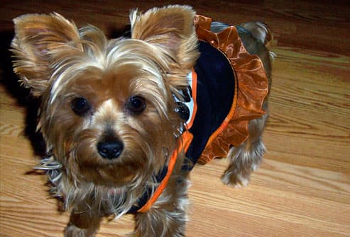 Yorkie terrier in orange tutu