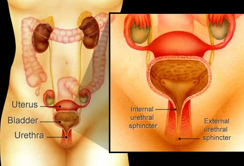 female urinary and reproductive organs