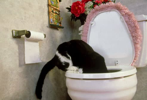 Tuxedo Cat Drinking from Toilet