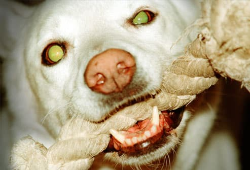 White Dog With Rope Chew Toy