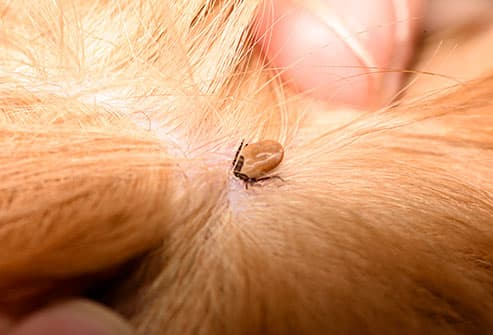 tick on dog