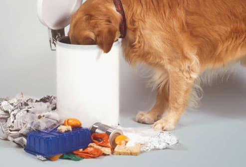 Dog Eating Out of Trash Can