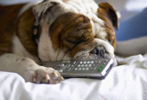 Lazy Bulldog Sleeping With TV Remote