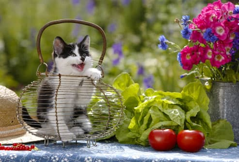 Cat On Table With Vegetables