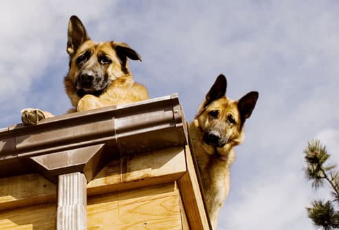 Dogs Perched on Roof