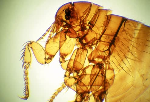 Magnified Image of Flea