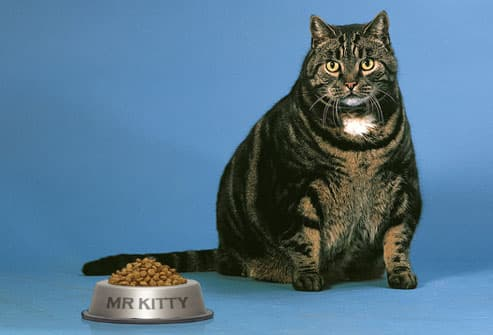 Fat Cat With Full Food Bowl