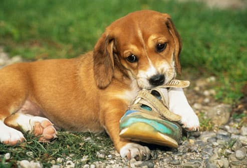 Puppy Chewing Up Sneaker