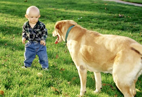 Toddler Playing With Large Dog