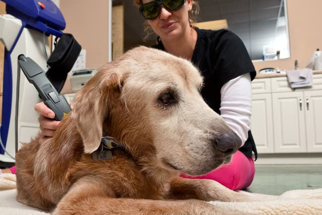 dog getting laser therapy
