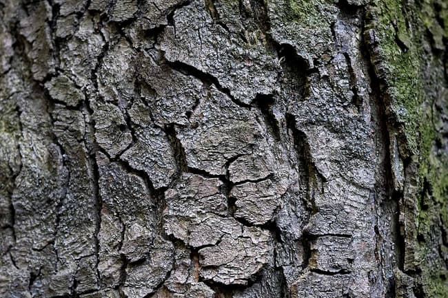 photo of magnolia bark