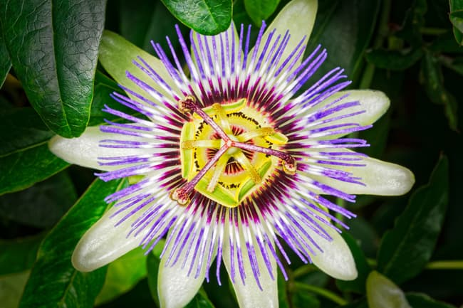 photo of passionflower