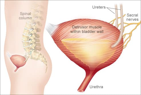 Illustration of bladder detrusor muscle