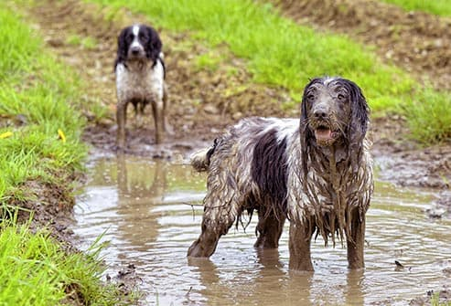 dogs in mud puddle