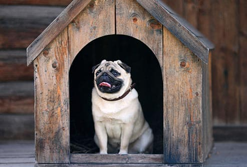 pug in doghouse