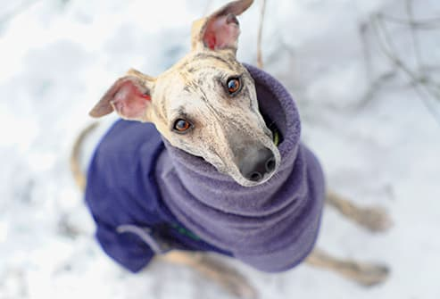 whippet in winter sweater