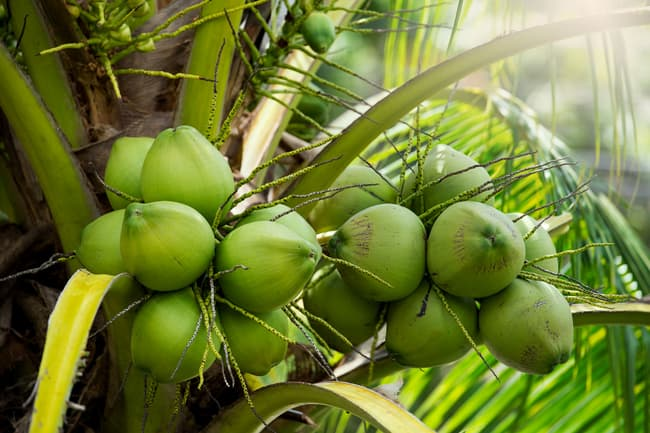 photo of coconuts
