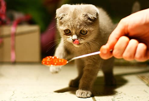 cat with spoon of caviar