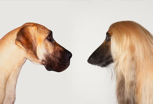 Great Dane and Afghan Hound