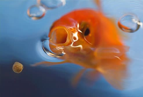 Goldfish opening mouth to catch food