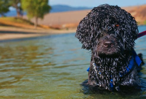 Portuguese Water Dog in lake