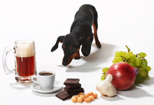Dachshund surrounded by food toxic to dogs