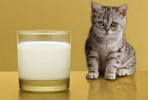Sad kitten regarding glass of milk
