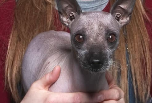 Woman holding Mexican Hairless dog