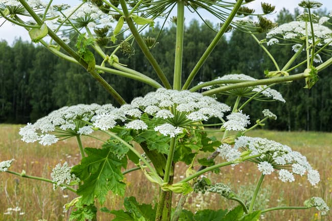 large fiberous stock with small white flowers