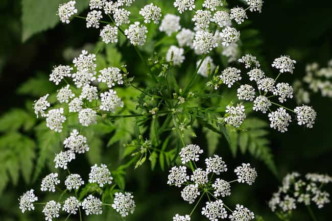 15 plants that kill visual guide to poisonous plants small white flowers mightylinksfo